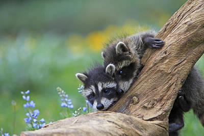 Raccoon Photograph - Raccoon Babies by M. Watson