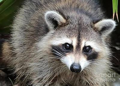 Raccoon Photograph - Raccoon Eyes by Carol Groenen