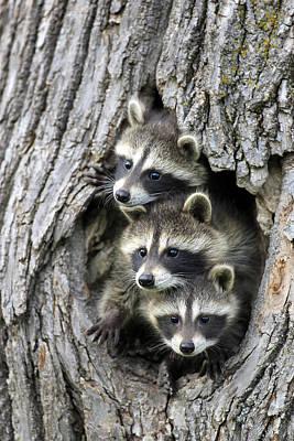 Raccoon Photograph - Raccoon Trio At Den Minnesota by Jurgen & Christine Sohns