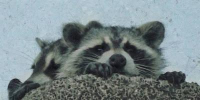 Raccoon Digital Art - Raccoons Painterly by Ernie Echols