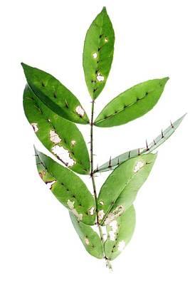 Shiny Leaves Photograph - Radix Zanthoxyli (zanthoxylum Nitidum) by Pan Xunbin