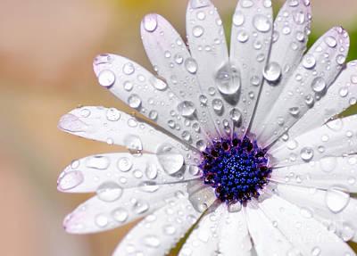 Raindrops On Flowers Photograph - Rain Soaked Daisy by Kaye Menner