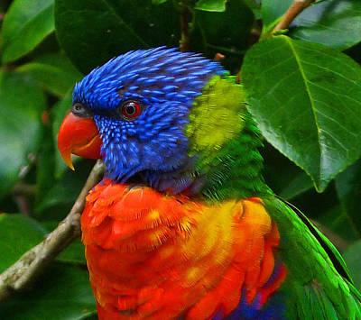 Rainbow Lorikeet Deep In Thought Print by Margaret Saheed