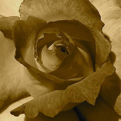 Rainbow Sorbet Rose In Sepia Print by Denise Mazzocco
