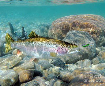 Rainbow Trout And Green Ghost Wet Fly Print by Paul Buggia