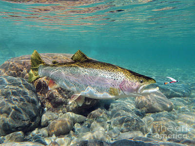 Rainbow Trout And Royal Coachman Print by Paul Buggia