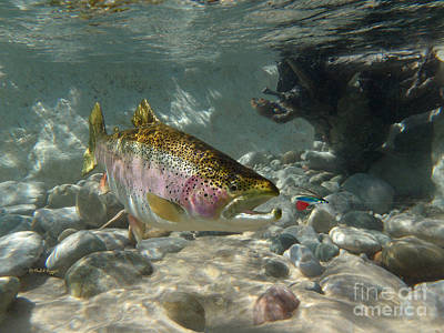 Rainbow Trout And Supervisor Fly Print by Paul Buggia