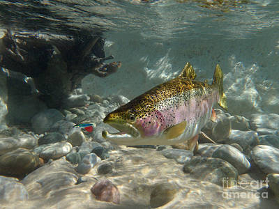 Rainbow Trout And Wet Fly Print by Paul Buggia