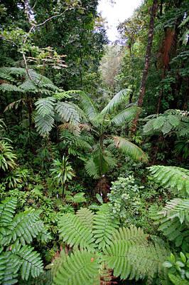 Rainforest, Southern Dominica, Seen Print by Susan Degginger