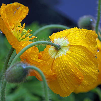 Rainy Day Photograph - Rainy Day Series - Yellow Poppies by Suzanne Gaff