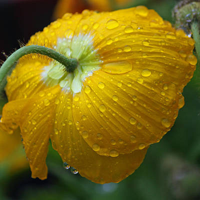 Rainy Day Photograph - Rainy Day Series - Yellow Poppy by Suzanne Gaff