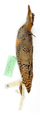 Jb Photograph - Rallus Phippensis by Natural History Museum, London
