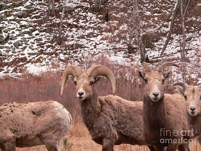 Ram Horn Photograph - Ram Horn Sheep by David Bearden