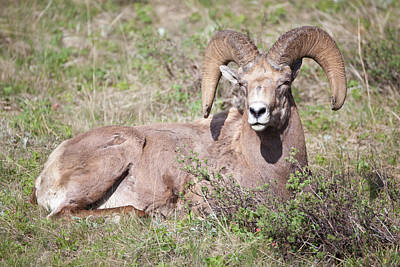Big Horn Sheep Photograph - Ram In Yellowstone National Park by Natural Focal Point Photography