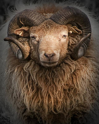 Ram Horn Photograph - Ram Portrait by Randall Nyhof