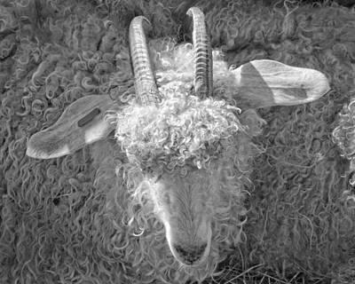 Ram Horn Photograph - Ram Sheep On Farm In Maine by Keith Webber Jr