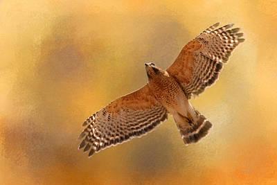 Red-shouldered Hawk Photograph - Raptor's Afternoon Flight by Jai Johnson