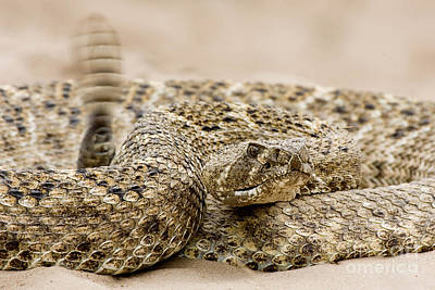 Diamondback Digital Art - Rattlesnake 1 by Jerry Fornarotto