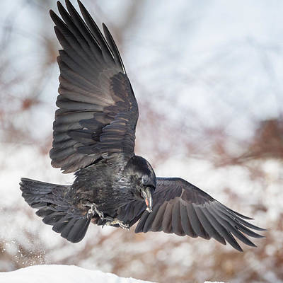 Raven In Flight Square Print by Bill Wakeley