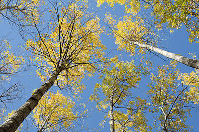 Birch Photograph - Reaching For The Sky 2 by Rob Huntley