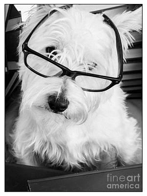Really Portait Of A Westie Wearing Glasses Print by Edward Fielding