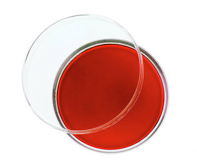 Red Agar Plate Print by Natural History Museum, London
