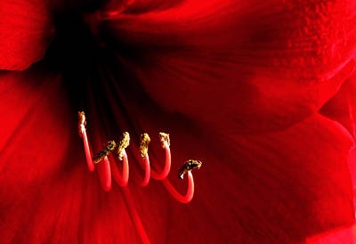 Flowers Photograph - Red Amaryllis by Gry Thunes