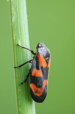 Red And Black Froghopper Print by Heath Mcdonald