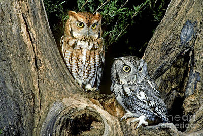 Red And Gray Screech Owls Print by G Ronald Austing
