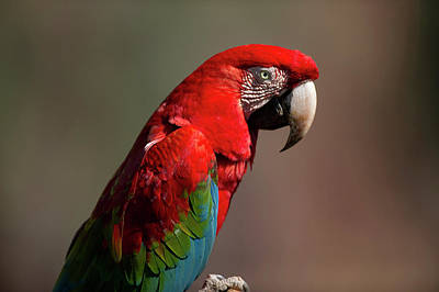 Red And Green Macaw Searching-portrait Print by Jan and Stoney Edwards