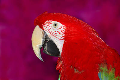 Red And Green Macaw Print by Tony Beck