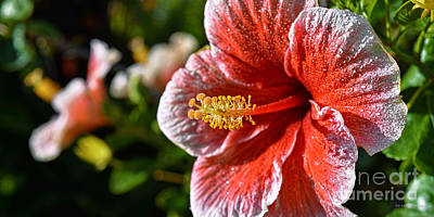 Hibiscus Photograph - Red And White Hibiscus After The Rain by Aloha Art