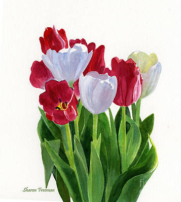 Red And White Tulips Print by Sharon Freeman