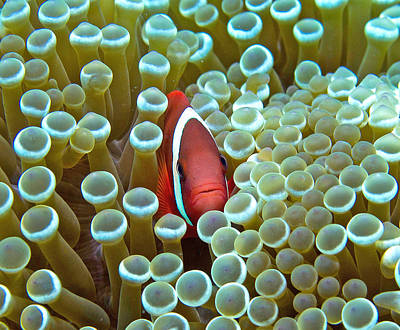 Clarks Anemonefish Photograph - Red Anemone Fish Peeking Out From Its Anemone by Gary Hughes