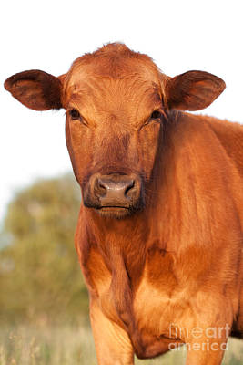 Vertical Photograph - Red Angus Cow by Cindy Singleton
