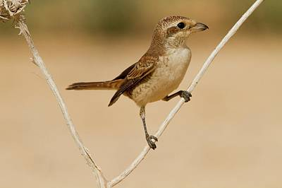Israel Photograph - Red-backed Shrike (lanius Collurio) by Photostock-israel