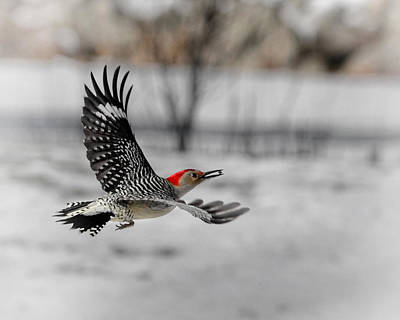 Woodpecker Photograph - Red Bellied Woodpecker by Bill Wakeley