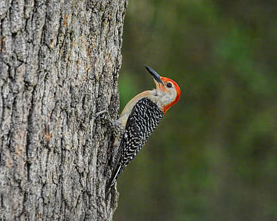 Red Photograph - Red Bellied Woodpecker by Jai Johnson