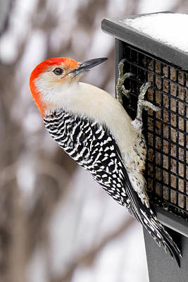 Woodpeckers Photograph - Red-bellied Woodpecker by Jim Hughes