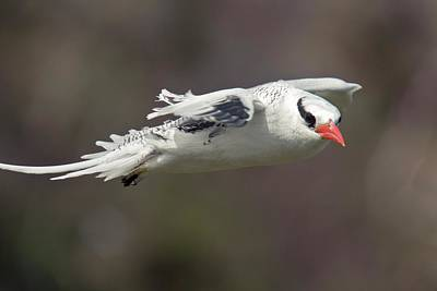 Birds In Flight Photograph - Red-billed Tropicbird In Flight by Bob Gibbons