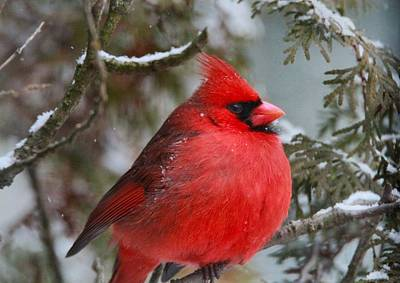 Cardinal Photograph - Red Cardinal In Winter by Dan Sproul