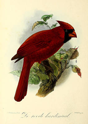 1912 Painting - Red Cardinal by J G Keulemans