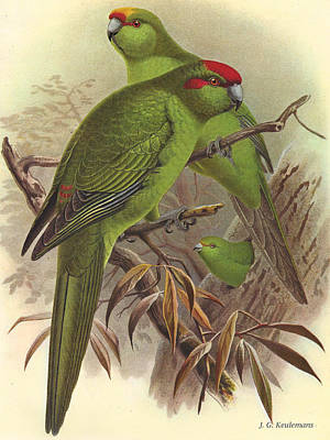 Red Crowned Yellow Crowned And Orange Fronted Parrakeets Print by J G Keulemans