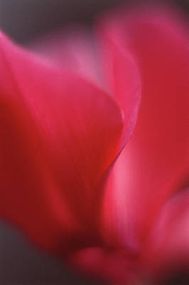 Red Cyclamen Abstract Print by Anna Miller