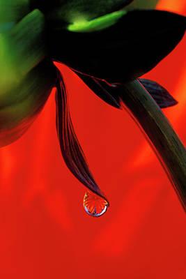 Red Dahlia In A Dew Drop Print by Jaynes Gallery