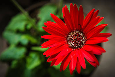 Landscape Photograph - Red Daisy by Pooja Gulati