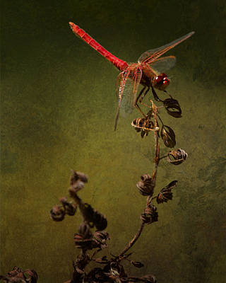 Darter Photograph - Red Dragonfly On A Dead Plant by Belinda Greb