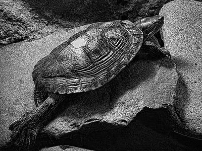 Red-eared Slider Turtle Print by Daniel Hagerman