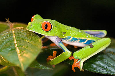 Crouched Photograph - Red-eyed Tree Frog Agalychnis by Panoramic Images