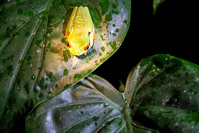 Frog Photograph - Red Eyed Tree Frog In Costa Rica by Natural Focal Point Photography